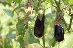 Contrôle aubergine Ravageurs & Maladies