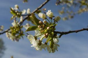 Comment greffer les arbres fruitiers Floraison