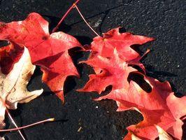 Ce qui rend les feuilles deviennent couleurs à l'automne?