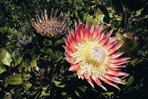 Types de fynbos Arbustes