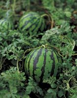 Watermelon Vine soins