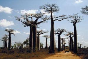 Les arbres dans Tropical Grasslands