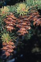 Comment identifier les arbres Virginie