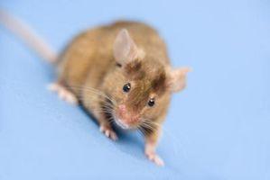 Une odeur de souris dans la sécheuse