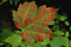 Taches brunes sur une plante Jade
