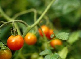 Quels suppléments de calcium à utiliser pour les plants de tomates