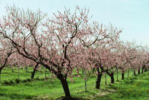 Comment traiter communs Peach Tree ravageurs