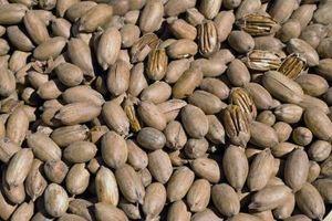 Les meilleurs endroits pour planter les arbres de noix de pécan au Texas