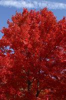 Comment identifier New Jersey feuilles des arbres