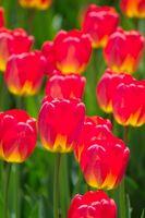 Plus gros bulbes de tulipes disponibles en vrac