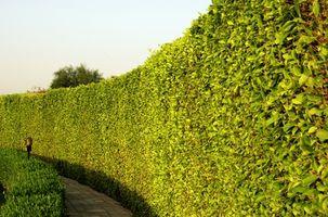 Les meilleurs arbres à croissance rapide pour une clôture naturelle