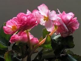 Utilisations de Begonia Semperflorens