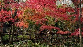 Verticilliose Maples japonais