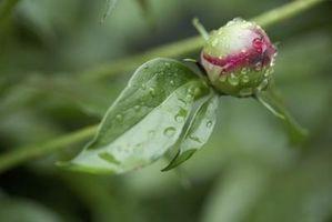 Seront pivoines poussent sous un arbre de cèdre?