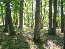 Les arbres d'ombrage plus forte croissance dans le Texas