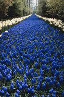 Comment prendre soin de jacinthe ampoules and Blooms