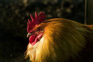 Comment chauffer poulets dans une serre
