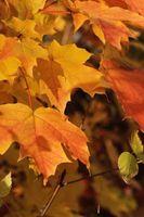 Écorce de Split sur une Red Maple Tree problème