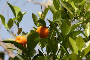 Quand cueillir des oranges Avant Freeze