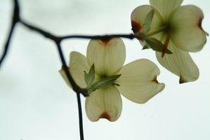 Pourquoi un Arbre Dogwood pas de Bloom?