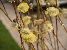 Curly Willow Tree & dégâts de Givre