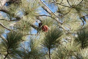 Informations sur Live Oak et Pine Trees