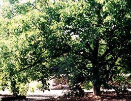Comment planter un Walnut Tree English