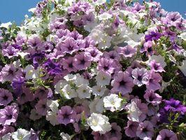 Des fleurs pour paniers suspendus