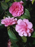 Camellia noms