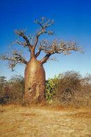 Comment cultiver des graines de baobab