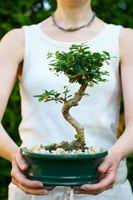 Comment à la racine Garniture Bonsai arbres avant de coupe