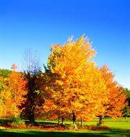 Comment prendre soin de Silver Maple Trees