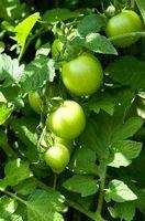 Pourquoi mes plants de légumes vert foncé Pas couleur?