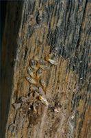 Comment déterminer si vous avez termites