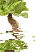 Comment cultiver la culture hydroponique à la maison