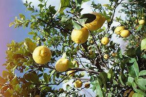 Comment faire pousser des arbres de citron