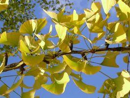 Comment faire pousser un arbre Ginkgo Biloba partir d'une graine