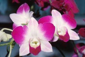 Ne orchidées poussent nouvelles usines?