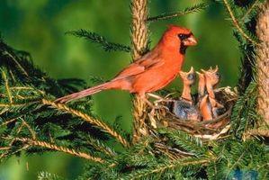 Comment faire pour supprimer les nids d 39 oiseaux dans le - Comment faire fuir les oiseaux ...