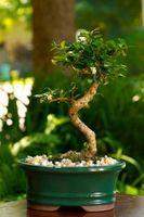 Comment tailler un Ficus Bonsai
