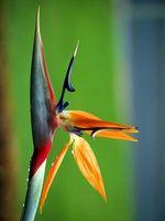 Comment garder un oiseau de paradis Vivant usine