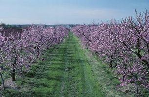 Quel type de Peaches poussent mieux dans l'Ohio?