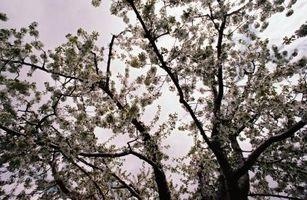 Comment Oil une Apple Tree
