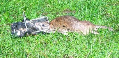 Comment se débarrasser de l'odeur Rat