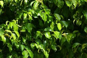 Weeping Ficus Plant Care