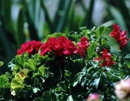 Géranium plantes parfumées