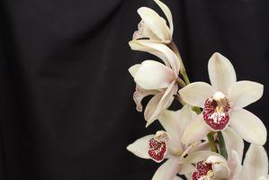 La toxicité de cymbidium orchidées