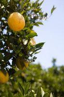 Lutte contre les rongeurs dans une Citrus Grove