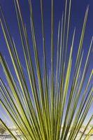 Explication de la Yucca fleurs