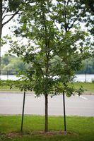 Combien de temps devez-vous conserver un Braced Tree?